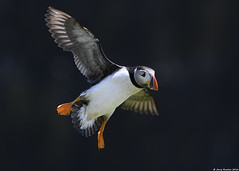 Puffin : Fratercula arctica (Jerry Hawker) Tags: fish bird wales pose inflight fishing sand walk ground puffin eel pembrokeshire bif fraterculaarctica skomerisland skomer sandeel jerryhawker