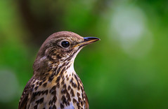 7D2L6564 (ndall) Tags: birds scilly tresco songthrush
