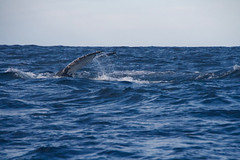 Humpback tail 2 (IAGD+P) Tags: manly sydney blowing whales humpbackwhales northernbeaches whaleseason