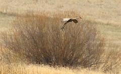 sandhill crane at Cardinal Marsh IA 854A8850 (lreis_naturalist) Tags: county cardinal crane reis iowa larry marsh sandhill winneshiek