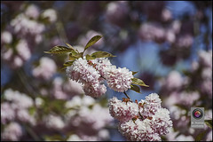 Bonn-Kirschbluete-29 (kurvenalbn) Tags: deutschland bonn pflanzen blumen nordrheinwestfalen frhling kirschbluete