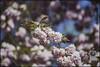 Bonn-Kirschbluete-29 (kurvenalbn) Tags: deutschland bonn pflanzen blumen nordrheinwestfalen frühling kirschbluete