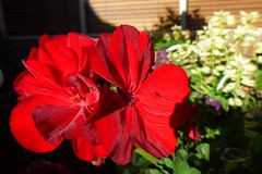 Geranium Big Red (dgardenia) Tags: dahlia dog pet macro home garden seeds mums mum frangipani geranium chrysanthemum seedling dahlias alyssum snapdragon diascia nemesia duranta geishagirl durantarepens