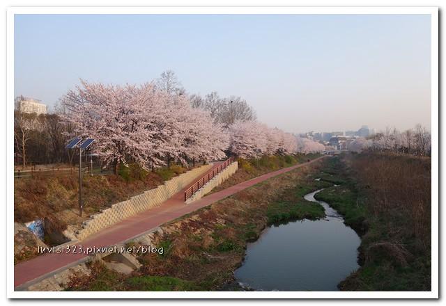 양재천벚꽃01