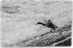 a wet day (i.v.a.n.k.a) Tags: light nature water birds freedom duck drops sony flight alpha ivana hesova