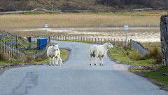 Heure de pointe (Julien Nmt) Tags: skye scotland moutons ecosse