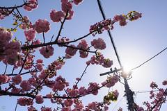 DS7_2256.jpg (d3_plus) Tags: sky plant flower nature japan walking spring twilight nikon scenery bokeh fine daily bloom  cherryblossom  sakura nightshots nightview yokohama nikkor  waterdrops      dailyphoto   kawasaki  50mmf14  thesedays   againstthelight againstthesun  fineday  50mmf14d nikkor50mmf14   afnikkor50mmf14  50mmf14s d700 nikond700 aiafnikkor50mmf14 nikonfxshowcase nikonaiafnikkor50mmf14