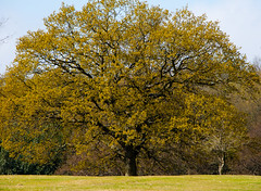 Oak: tree (Dave_A_2007) Tags: nature oak plant tree suttoncoldfield westmids unitedkingdom