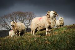 Family (MarkEllis) Tags: light wales ominous horns curly lamb snowdonia ram suckling ewe lambingseason