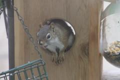 Red Squirrel at My Squirrel Feeder (Saline, Michigan) - May 9, 2015 (cseeman) Tags: circle spring corn squirrels hole michigan wildlife feeder perch hungry feed saline redsquirrel squirrelfeeder salinesquirrels redsquirrel05092015