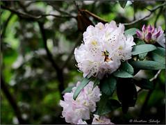 Rhododendron bokeh (ChristianRock) Tags: flowers nature 50mm pentax manual ricoh manualfocus 50mmf14 rikenon ricoh50mmf14 kmount rikenon50mmf14 k20d pentaxk20d rikenonxr50mmf14
