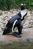 Burgers Zoo Arnhem 2015 : African Penguin - Zwartvoet Pinguïn (Hermen Goud Photography) Tags: animals zoo arnhem dieren dierentuin spheniscusdemersus burgersdierenpark pinguinzwartvoetpinguïnafricanpenguin