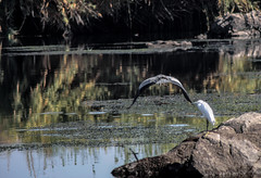 Birds of the nile-7 (osamaalipl) Tags: naturaleza white bird heron nature water beautiful beauty birds rock reflections river agua rocks colorful gray egypt nile granite egipto aquatic riverbank aswan egret pjaro  reflexiones nilo granito hardlight