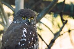 Barking owl (Axon Imagery) Tags: owl barkingowl strigidae ninoxconnivens canberrazooandaquarium