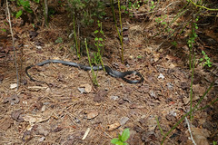 DSC01709 (rad!x) Tags: hike everyone northernblackracer chesapeakebay blackracer coluberconstrictorconstrictor flagpondnaturepark
