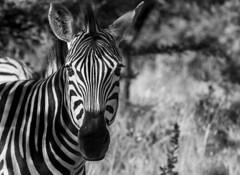 B&W (Sheldrickfalls) Tags: southafrica zebra mpumalanga plainszebra burchellszebra lydenburg kuduranch kuduprivatenaturereserve kudugameranch kpnr