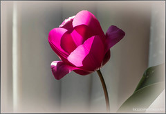 (Fay2603) Tags: pink light red plant flower green leave dark grey licht shadows blossom pflanze grau indoor frame tulip grn elegant blume blatt schatten bltenbltter tulpe eleganz dunkelrot fotorahmen