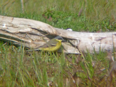 Grey-headed Wagtail, Seaton Common (JR Studio) Tags: bird grey durham cleveland rare headed tbc wagtail migrant dbc nnr greyheaded teesmouth