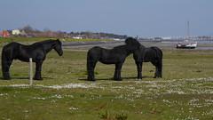 Oost-Vlieland (Alta alatis patent) Tags: vlieland nes oostvlieland aland frisianhorses
