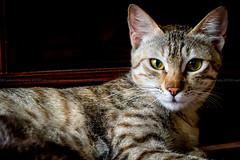 loopood (azahar photography) Tags: eye animals cat paw tiger domesticcat straycats cateye fourleg