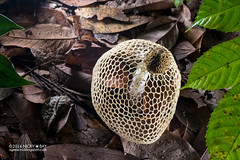 Bridal veil stinkhorn (Phallaceae) - DSC_1381 (nickybay) Tags: macro singapore veil fungi horn bridal stinkhorn stink chestnutavenue phallaceae