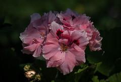 """Frill Seeker!! (Good Nature One) Tags: pink red orange white flower macro green nature bloom frillseeker"