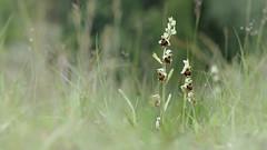Hummel-Ragwurz (Ophrys holoserica) (Chris Nature) Tags: flower bayern deutschland grn orchidee blume landschaft heide rasen trocken lech ophrys rote liste naturschutz selten hurlach naturfotographie