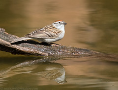 Chipping Sparrow (Nick Saunders) Tags: reflection water spring pond drinking sparrow bathe bathing chipping chippingsparrow