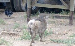 Crazy Farm Visitors (zenseas : )) Tags: africa vacation pets holiday crazy funny farm visitors namibia warthog keetmanshoop phacochoerusafricanus quivertreeforest capecrow corvuscapensis quivertreeguesthouse