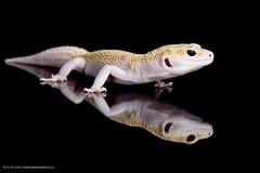 Newt (Jen St. Louis) Tags: ontario canada reflection london studio reptile lizard raptor gecko lowkey pawprints leopardgecko petportrait petphotography nikon105mmf28 nikond750 wwwpawprintsphotosca