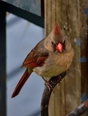 Cardinal (King Kong 911) Tags: cardinal