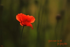 Poppy (eleni m) Tags: poppy flower plant outdoor quote dof light shadow bank