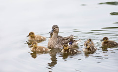 Duck family (cuppyuppycake) Tags: park family england lake bird london animal swim mom duck pond nikon 7 siblings seven mallard float wanstead d7200