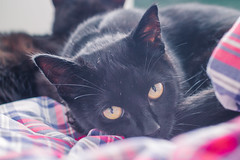IMG_4159 (BalthasarLeopold) Tags: pet cats pets animal animals cat blackcat mammal kitten feline dof kittens felines blackcats indoorcat dephtoffield