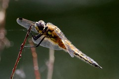 IMGP9727 Four-Spotted Chaser, Lackford, June 2016 (bobchappell55) Tags: wild nature insect suffolk dragonfly wildlife lakes reserve trust chaser fourspotted fourspottedchaser lackford