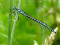 White-legged damselfly - male (LPJC) Tags: uk stamford rutland damselfly 216 whiteleggeddamselfly lpjc