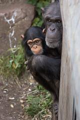 Mother and child (greenzowie) Tags: animal mammal zoo edinburgh chimpanzee edinburghzoo 2016 photographyworkshop greenzowie