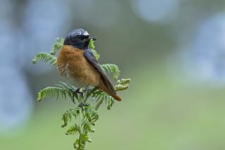 Redstart (Phoenicurus phoenicurus)