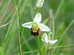 ophrys apifera var.flavescens (waterbaby21) Tags: orchid chalk surrey british grassland ophrysapiferavarflavescens