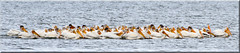 American White Pelican (Catsbow) Tags: americanwhitepelican whitepelican pelican westernwashington