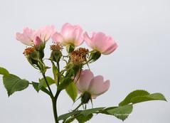 05-IMG_2507 (hemingwayfoto) Tags: blhen blte bltenstand heckenrose natur