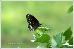 6315 - common crow (chandrasekaran a 34 lakhs views Thanks to all) Tags: india nature butterfly insects chennai commoncrow canon60d canonef70300mm