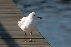 Silvergull (Merrillie) Tags: bird nature animal fauna outdoors photography nikon waterfront natural outdoor wildlife seagull gull australia nsw newsouthwales centralcoast woywoy silvergull d5500 nswcentralcoast centralcoastnsw