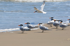 Royal Tern, Texas, Kleberg County, Padre Island National Seashore (EC Leatherberry) Tags: bird gulfofmexico texas wildlife royaltern nationalparkservice shorebird padreislandnationalseashore thalasseusmaximus