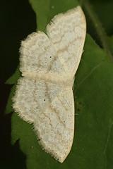 Little black freckles (Vox Sciurorum) Tags: insect moth geometridae scopula belmont massachusetts sigma150mmf28os
