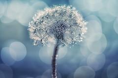The dandelion and the bokeh (TraceyDobbs86) Tags: light macro nature water bokeh dandelion