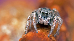 Habronattus borealis jumping spider (Tibor Nagy) Tags: spider jumper jumpingspider salticid salticidae arachnid arthropod closeup flash diffused diffuser softbox macro portrait chelicerae mandibles palps eyes setae habronattus borealis