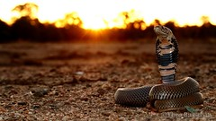 Mozambique spitting cobra (Naja mossambica) (Theo Busschau) Tags: africa sunset macro nature animal closeup canon landscape cobra reptile snake wildlife wideangle herps venomous naturephotography naja wildlifephotography 70d spittingcobra herpingsouthafrica