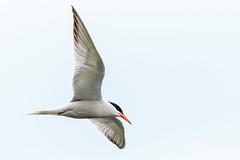 Common Tern In Flight (Unintended_Keith) Tags: bird nature wildlife berkshire birdinflight commontern californiacountrypark canon7dmkii sigma150600mms