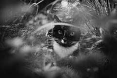Schnurri (you feel me) Tags: blackandwhite plants blancoynegro cat blackwhite noiretblanc outdoor facetoface biancoenero schwarzweis